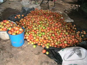 Food-Tomato ready for processing